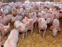 A fost confirmat primul focar de pestă porcină africană în România la Satu Mare