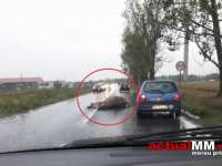 ACCIDENT PE CENTURA BĂII MARI - O șoferiță a accidentat mortal o vacă
