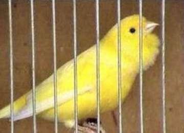 AGERPRES: Din culisele celui mai vechi și exclusivist concurs de cântat din România... pentru canari