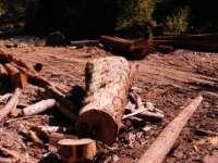 ALARMANT: Pădurarii din Maramureș au furat anul trecut lemn în valoare de peste 1 milion lei