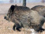 ALERTĂ - Primăriile din Maramureș, cu ochii în patru din cauza virusului pestei porcine africane
