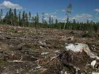Amenzi mai mici - sau deloc - pentru tăieri ilegale de pădure