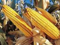 America exportă cereale modificate genetic și importă porumb românesc