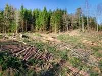 ANCHETĂ - Încă şapte lucrători silvici au fost reţinuţi după ce au măcelărit pădurile Maramureşului