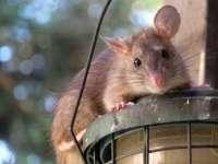 Autoritățile din Jakarta oferă recompense pentru fiecare șobolan prins