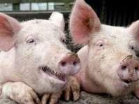 Autoritățile sanitar-veterinare maramureșene în alertă din cauza pestei porcine africane