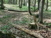 Bărbaţi în vârstă de 42 şi 49 de ani cercetaţi pentru tăiere ilegală şi furt de arbori