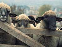 Bistra - 83 de oi ucise de trăsnet