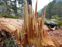 Borşa - Tăierile ilegale de arbori, în vizorul poliţiştilor