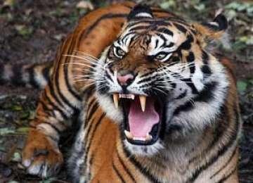 Braşov: Îngrijitor de la Grădina Zoologică muşcat de tigru