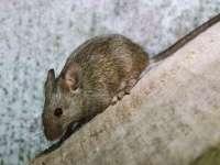 Brazilia: Șoarece dresat să transporte droguri în închisoare