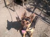 Câine lup cu pedigree și vaccinări la zi, donat de un sighetean