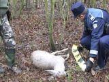 Câinii sălbăticiţi omoară căprioarele şi puii acestora în pădurile din Maramureş