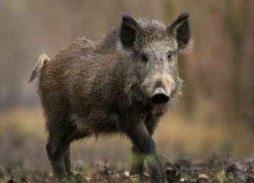 CĂLINEŞTI – Animalele sălbatice distrug pofta de agricultură