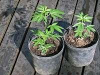 Canadienii pot cultiva, legal, marijuana acasă