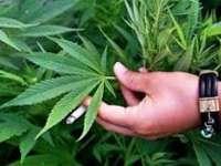 Capitala SUA a spus DA la un referendum asupra legalizării consumului de canabis în scop recreativ