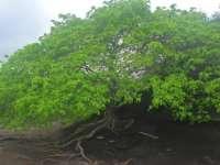 Cel mai periculos copac din lume