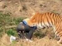 CHINA - Bărbat mâncat de tigri, după ce a intrat la Zoo pe unde nu trebuia
