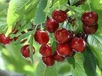 Cinci mari beneficii ale consumului de cireşe
