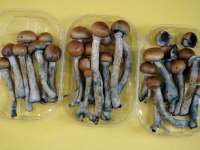 Ciupercile halucinogene ar putea contribui la combaterea depresiei