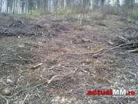 Clanul Munteanu rade pădurile din Țara Lăpușului sub protecția unor lideri ai PNL Maramureș