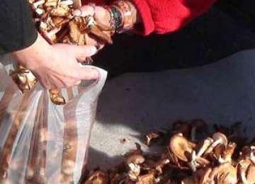 MARAMUREŞ: Comercianţii de ciuperci vor fi verificaţi după ce peste 50 de persoane au ajuns în spital din cauza ciupercilor otrăvitoare