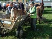 Controale în târgul de animale din Sighet, amenzi de peste 18000 de lei aplicate şi 12 permise de conducere reţinute de poliţişti
