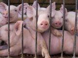 CONTROALE la FRONTIERĂ - Se caută produsele de origine animală care pot aduce virusul pestei porcine africane