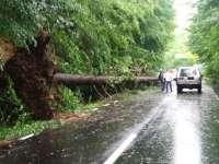 Copac de 25 de metri, pe drumul Baia Sprie – Mogoşa, culcat la pământ de rafalele de vânt