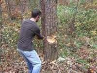CRĂCIUNEŞTI: S-a ales cu dosar penal după ce a tăiat fără drept 17 arbori de esenţă pin