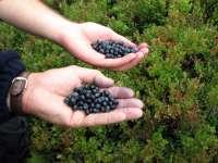 Culturile de afin s-au dublat în ultimii ani, în Maramureș