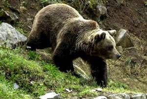 Dâmbovița: Un bărbat a fost atacat de urs, la Vârfuri