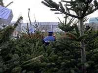 DELICTE SILVICE: 142 de pomi de Crăciun confiscați și 596 sancţiuni contravenţionale aplicate de polițiștii maramureșeni