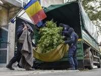 Doi poliţişti din Arad, arestați după ce au fost descoperiți că dețineau o cultură de cannabis într-o pădure