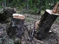 Doi tineri din Sighet prinși la furat arbori în Giuleşti