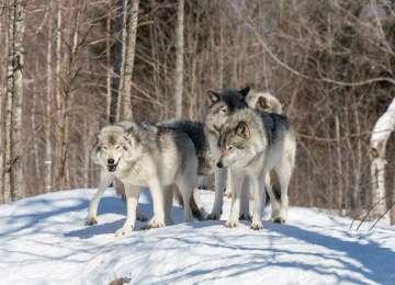 Doi turişti, înconjuraţi de o haită de lupi în Postăvaru. Salvatorii montani, solicitaţi să intervină