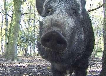 Focar de pestă porcină în județul Sălaj, aproape de Maramureș