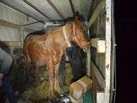 FOTO & VIDEO: INGENIOZITATEA MARAMUREȘENILOR - Ţigări ascunse sub fân, într-o autoutilitară care transporta cai