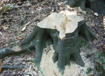 Furt de arbori la Săpânța