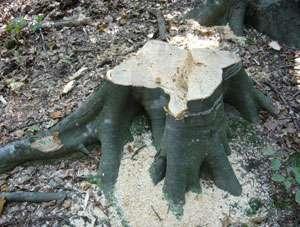 Furt de material lemnos la Repedea și Sarasău