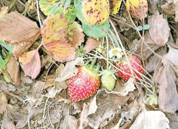 """""""Gerul"""" din IANUARIE – Căpșunile s-au copt într-o localitate din apropierea Bucureștiului"""