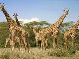 Girafele sunt amenințate cu dispariția