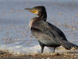 Gripa aviară a fost confirmată în România