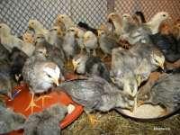 GRIPA AVIARĂ - Comerțul cu păsări este interzis în Maramureș