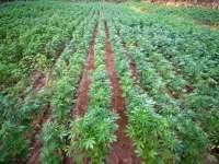 În Maramureş se cultivă, din nou, cânepă