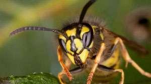 Încă un maramureşean a fost la un pas de a-şi pierde viaţa după ce a fost înţepat de viespi