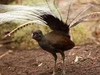 Incredibilia.ro: Pasărea liră poate imita orice sunet. Chiar orice sunet