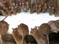Invazie de şobolani mutanţi în Marea Britanie