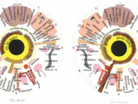 IRIDOLOGIE: Sistemele diagnostico-terapeutice