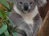 Koala ar putea dispărea din cauza încălzirii climatice